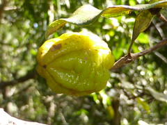 Wild Yellow Jasmine (tessab101) Tags: wild yellow garden jasmine australia nsw wildflower kuringgai pittosporum revolutum