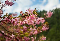 20160306-DSC_6114 (Kay's...) Tags: cherryblossom sakura   wuling wulingfarm