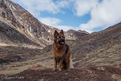 Rebus Dog of the Hills (Lorraine Culloch) Tags: road dog nikon doll shepherd glen german cairngorms longhaired 750 jocks