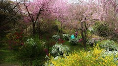 Dreaming of Spring (maco-nonchR(on/off)) Tags: wedding japan garden kyoto traditional  cherryblossoms kioto japon japons haradanien allmanual