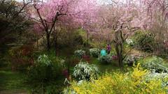 Dreaming of Spring (maco-nonchR) Tags: wedding japan garden kyoto  cherryblossoms haradanien allmanual