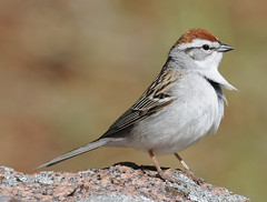 Chipping Sparrow (Jean-Franois Hic) Tags: sparrow chipping