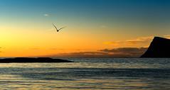 Larus Marinus (explored) (strupert) Tags: sunset norway sunrise nikon seagull d750 midnightsun troms 70200mm larusmarinus hja northnorway sommary