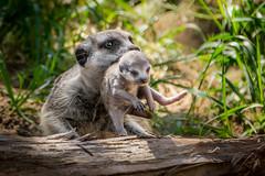 On The Move (helenehoffman) Tags: africa baby nature animal mammal meerkat wildlife pup sandiegozoo carnivore suricatasuricatta specanimal mongoosefamily