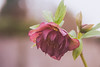 Heavenly Hellebore (MacBeales) Tags: red nature canon garden eos 350d spring hellebore