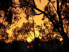 sunset among the gumtrees [Explore-2016-04-26] (Gazman_AU) Tags: light sunset tree silhouette gum melbourne eucalypt