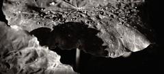 (carolus_croque) Tags: hojas gotas rocio virado