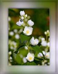 White And Green (Harald52) Tags: natur pflanze jasmin grn blte frhling weis