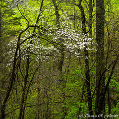 Dogwood Monongahela National Forest (travelphotographer2003) Tags: usa green nature ecology beauty forest landscape outdoors spring solitude 11 westvirginia serenity bloom serene dogwood wilderness appalachianmountains alleghenymountains monongahelanationalforest williamsriverscenicbackway remotesquare cornusfloride