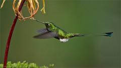 Booted racket-tail (Raymond J Barlow) Tags: travel nature ecuador hummingbird wildlife adventure birdinflight phototours raymondbarlow