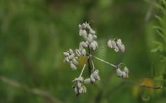 mlange saisonnier (bulbocode909) Tags: nature fleurs vert printemps
