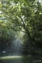 Verdure (RenField - Toel-ul Laputa) Tags: light tree green nature japan 35mm river nikon kagoshima  nikkor    jpn kyusyu   aira      d800e