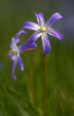 Sternhyazinthe (Chionodoxa luciliae)_9412-BF (Bluesfreak) Tags: pflanze taubertal chionodoxaluciliae sternhyazinthe tauberfranken spargelgewchs