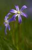 Sternhyazinthe (Chionodoxa luciliae)_9412-BF (Bluesfreak) Tags: pflanze taubertal chionodoxaluciliae sternhyazinthe tauberfranken spargelgewächs
