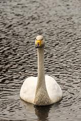 SLN_1602766 (zamon69) Tags: bird water animal se skne swan sweden vatten djur fgel svan whistlingswan skralid sngsvan whoopingswan