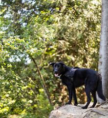 High Ground (Mason Aldridge) Tags: portrait dog pet lake sunshine canon river puppy outside outdoors 50mm golden labrador dof bokeh shepherd walk f14 sunny hike trail pup depth goldenhour 6d shallowdof