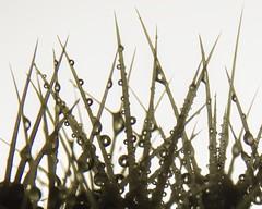 Prickles (Saul_Good) Tags: cactus macro water up dof close mondays paultyronethomas