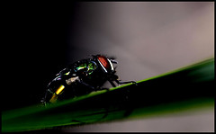 Metallic (Josh Rokman) Tags: nature outdoors fly flyinginsect nikond7000