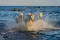 40081110 (wolfgangkaehler) Tags: horse white france beach water french europe mediterranean european running splash herd mediterraneansea eveninglight camargue southernfrance splashing galloping 2016 whitehorses camarguehorses