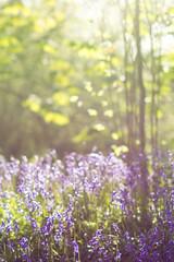 A walk amongst the bluebells (Willers1404) Tags: flowers blue sunset sunlight macro silhouette bluebells forest woodland easter carpet petals spring stem woods bokeh creative bloom dreamy backlit growing warwick stalk creamy
