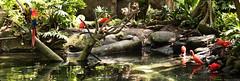 Moody gardens... (kaiteelucksingh) Tags: birds nikon parrots moodygardens nikon2470mm nikond750