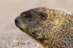 BJ8A8535-Woodchuck (tfells) Tags: portrait mammal newjersey nj woodchuck groundhog marmot pinebarrens