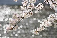 /Prunus spachiana cv.Itosakura (nobuflickr) Tags: flower nature japan cherry japanese kyoto  weeping   spachiana weepingjapanesecherry awesomeblossoms prunusspachianacvitosakura   kamogawariverhananokairou prunus cvitosakura   20160405dsc06362