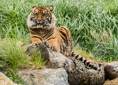 Female Tiger (seankirkhousephotography) Tags: zoo tiger species welsh captive pembrokeshire rare