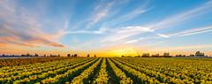 Tulips at Sunset - Seattle,WA (Praveen Thalla) Tags: seattle sunset sky washington tulips burn serene pictorial