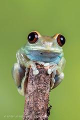 Ruby Eyed Tree Frog (Linda Martin Photography) Tags: uk nature birds tanzania ngc npc dorset frogs amphibians coth rubyeyedtreefrog coth5 leptopelisuluguruensis canon5dmarklll