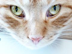 I see you (buckaroo kid) Tags: uk orange london cat ginger eyes feline tabby woody londonist woodythecat