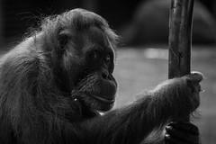 orangutan3_torontozoo_april16 (YenC) Tags: toronto animals zoo orangutan mammals primates