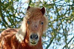 Poney Shetland (Mariie76) Tags: nature branches vert bleu ciel animaux arbre shetland feuilles petit regard mignon poney museau quid alezan