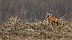 Renard roux / Vulpes vulpes / Red Fox (Laval Roy gone birding to MX till mid-may) Tags: canon quebec mammals redfox vulpesvulpes omnivores mammifres renardroux canids eos7d ef300mm14lisextender14xiii lavalroy