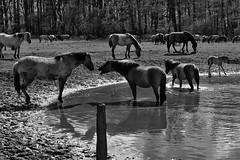 Wild Horses in black-and-white - Bathing - 2016-029_Web (berni.radke) Tags: horse pony bathing herd nordrheinwestfalen colt wildhorses foal fohlen croy herde dlmen feralhorses wildpferdebahn merfelderbruch merfeld przewalskipferd wildpferde dlmenerwildpferd equusferus dlmenerpferd dlmenpony herzogvoncroy wildhorsetrack