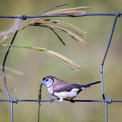 small bird series: double-barred finch (Fat Burns  (gone bush)) Tags: bird nature fauna finch ourdoors australianbird smallbird australianfauna doublebarredfinch taeniopygiabichenovii nikond800