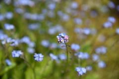 Never dull your shine for somebody else.   Tyra Banks (Pics4life.nl) Tags: blue flower blauw shine bokeh bloem bloemetje vergeetmenietje