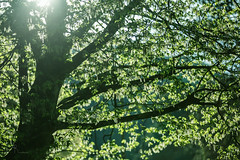 es wird grn... (SteffPicture) Tags: green spring grn blatt bltter baum springtime frhling blhen steffpicture