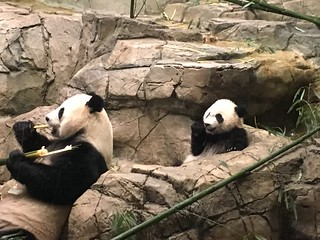 Mei Xiang and Bei Bei have lunch