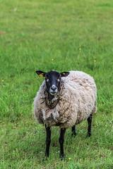 La sentinelle (Collabois) Tags: wool nikon sheep flock pasture moutons herbe laine d600 pturages
