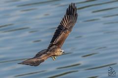 Juvenile Brahminy Kite 2 (Saeed Lajami) Tags: india birds canon wildlife karnataka juvenile in brahminykite mysuru