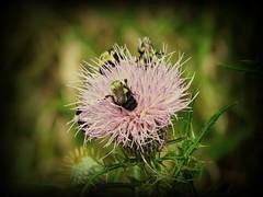 124 (Karen Meidel) Tags: flowers wild summer black flower nature yellow spring purple bees thistle lavender bee bumblebee jacket wildflowers blooms bumble