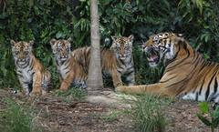 Always Listen to Your Mother (Penny Hyde) Tags: cub tiger bigcat sumatrantiger safaripark babyanimal