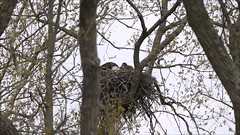 BALD EAGLES AND 3 EAGLETS NESTING ON LEVEE ROAD, BROOKVILLE, INDIANA, APRIL 25, 2016 (nsxbirder) Tags: fish video nest baldeagle indiana adults brookville whitewaterriver eaglets leveeroad