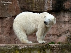 Vera - Charlotte - Eisbären - Tiergarten Nürnberg (ElaNuernberg) Tags: zoo polarbear ijsbeer eisbär ursusmaritimus zooanimals zootiere jääkaru tiergartennürnberg ourspolaire orsopolare nurembergzoo niedźwiedźpolarny eisbärvera eisbärcharlottealiaslottchen