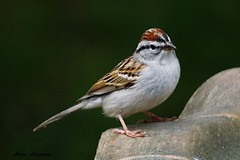 Chipping Sparrow (--Anne--) Tags: nature birds animals spring pennsylvania wildlife sparrow sparrows chipping