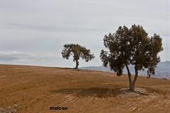 j. thurifera (jm_alcon) Tags: espaa arbol spain outdoor campo sanblas teruel horizonte ocre tierra campia airelibre serenidad aragn secano barbecho