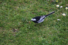 Waggie looking for lunch. (aitch tee) Tags: nature birds wildlife piedwagtail walesuk rhoose motacillaalbayarrellii bbcwalesnature