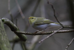 Wood Warbler (cooky1959) Tags: staffordshire woodwarbler highgatecommon summervisitor