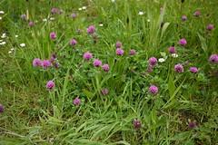 trebol (Jusotil_1943) Tags: flores trebol silvestres treboles 290416